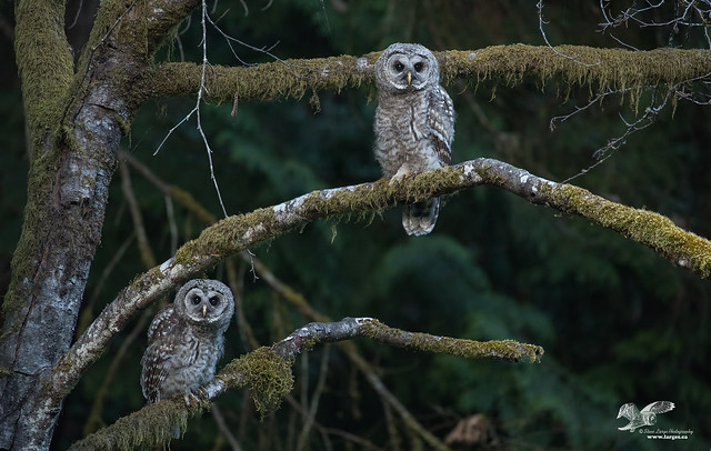 Me and My Bro 2018 (Barred Owlets)