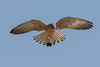 Angel of Death - Lesser Kestrel male hunting (Falco naumanni) by Ron Winkler nature