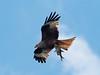 Red kite / Rotmilan (Milvus Milvus) by ralph_behrens