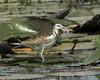 Pheasant-tailed Jacana (Adult non-breeding) by Chris.Kookaburra