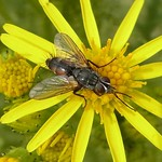 Rotgefleckte Raupenfliege (Orange-bellied Tachinid Fly, Eriothrix rufomaculata)