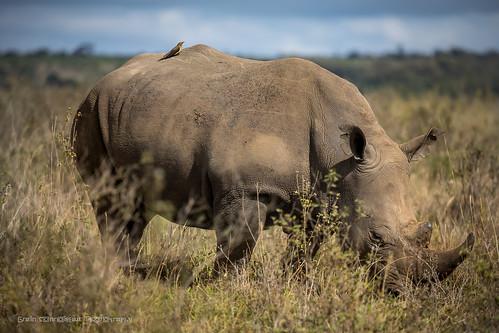 2017 africa eastafrica kenya nairobi nairobinationalpark rhino ngc blackrhino wildlife wildlifephotography gidzinski gidzinska grainconnoisseur