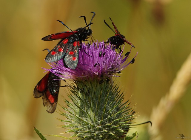 five-spot burnet moths lots  (4)