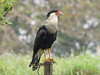 Crested Caracara - Sapoa, Nicaragua by Michael W Klotz - The Bird Blogger.com