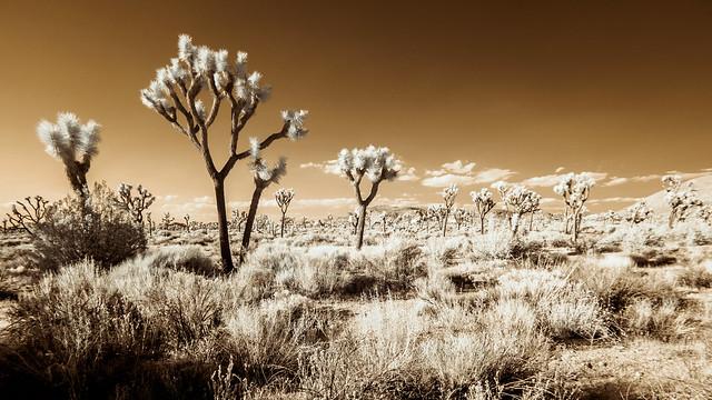 Joshua Tree (Adventures in Infrared)