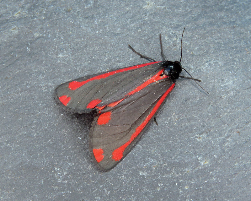 72.031 Cinnabar - Tyria jacobaeae