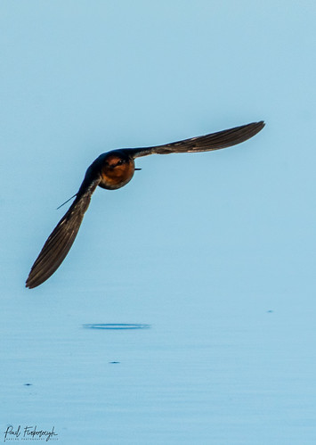 Swallows Skimming | by furbs01 Thanks for 6,264,000 + views 13 June 2020