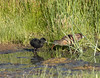 Virginia Rail (Rallus limicola) & Chick by GH Rancher
