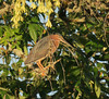 Green heron in a tree by piranhabros