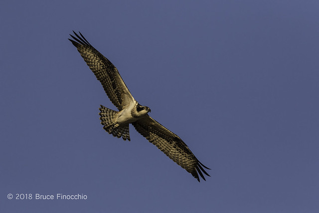 An Adult Osprey In Full Flight With Wings Spread Out