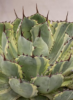 Agave | by Don McClane