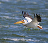 American White Pelican by Ceredig Roberts
