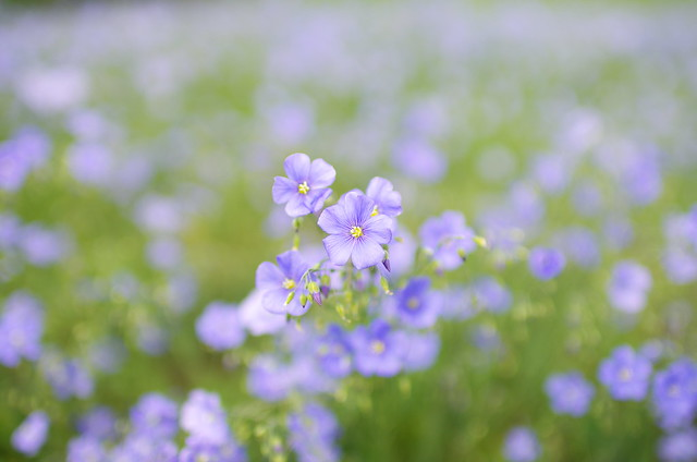 A camp of linseed