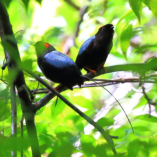 Long-tailed Manakins | by ryanacandee