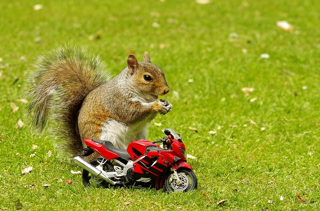 Grey squirrel with motorcycle (12)