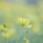 コスモス レモンイエロー (Cosmos,lemon yellow)