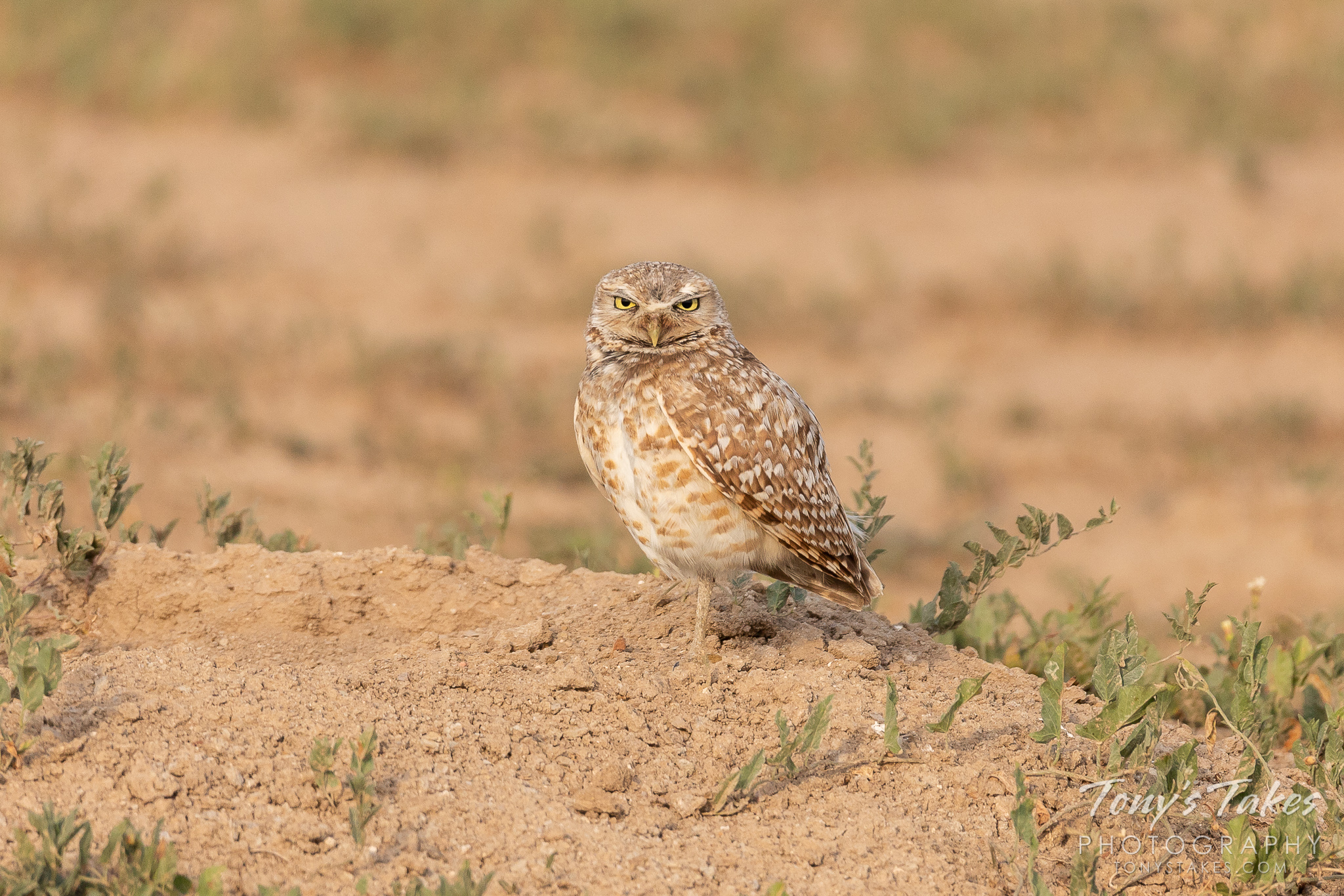 A male Burrowing Owl casts a serious gaze near Denver International Airport. (© Tony's Takes)