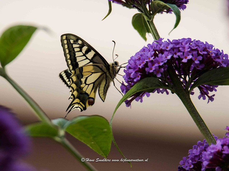 Koninginnenpage (Papilio machaon)-818_5135