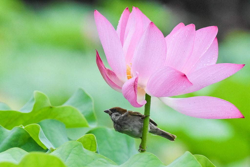 Eurasian Tree Sparrow Juvenile Dancing With Lotus Flower Flickr