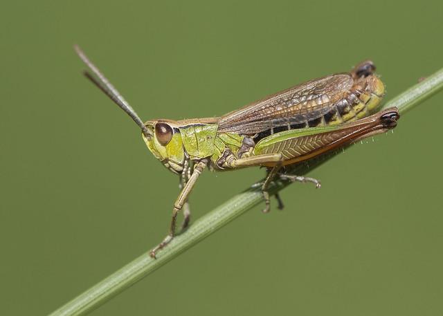 Common Green Grasshopper 12th July