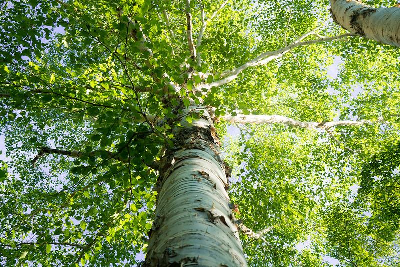 田代山登山道 新緑のブナの木