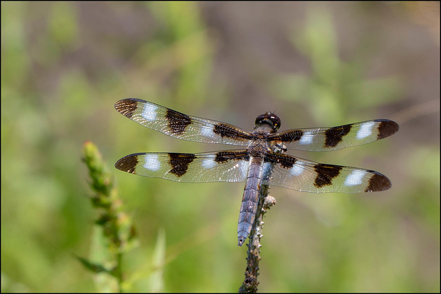 Male Twelve-spotted Skimmer