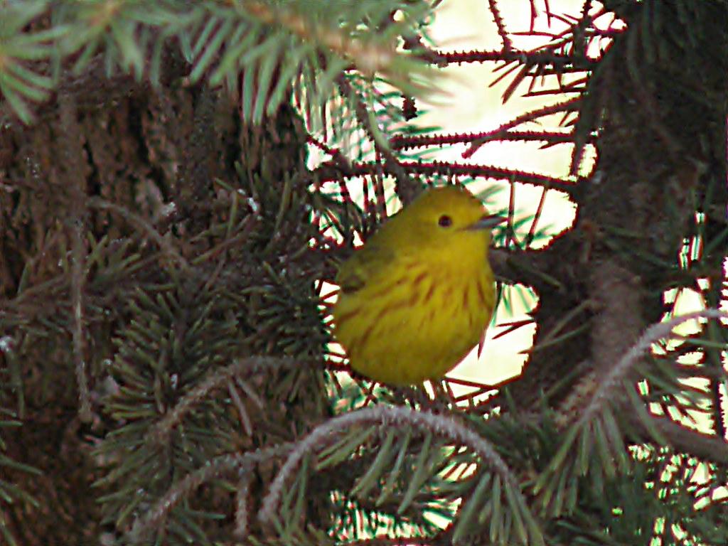 P5119347...WARBLER, Yellow
