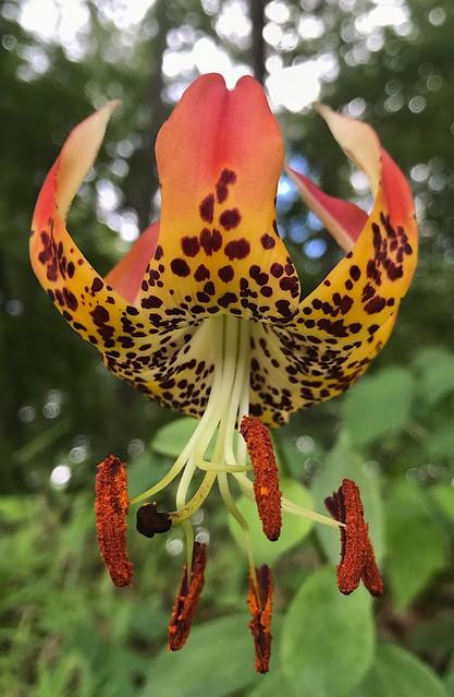 Carolina Lily. The state wildflower of North Carolina.