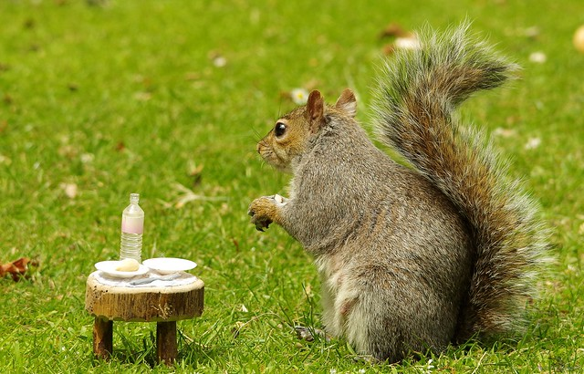grey squirrel with picnic table  (8)