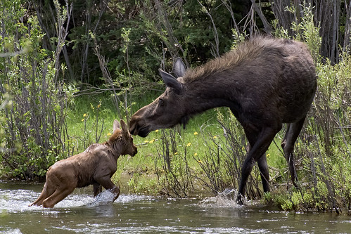 moose montana beartooth mountains water crossing river calf cow mother baby wildlife nature yellowstone ynp gye swim swimming clarks fork wyoming pass explored in explore