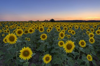 *Summer time @ Sunflower time* | by Albert Wirtz @ Landscape and Nature Photography