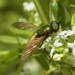 Gewöhnliche Waffenfliege (Chloromyia formosa)