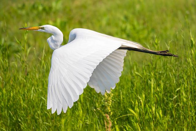 Great Egret-8