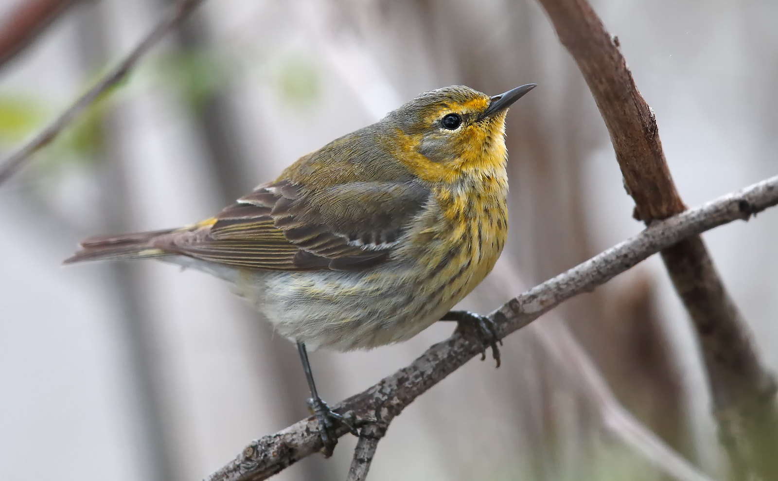 Cape May Warbler [female]