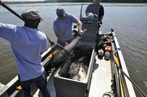 Photo of biologists in a boat placing large blue catfish into containers