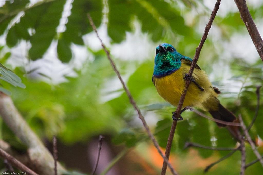 collared sunbird_03_Tanzania 04_08_iul18
