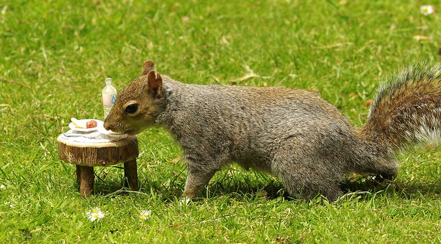 grey squirrel with picnic table  (6)