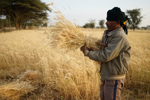 """Farmer Gashu Lema harvests improved variety """"Kubsa"""" wheat in his own field 