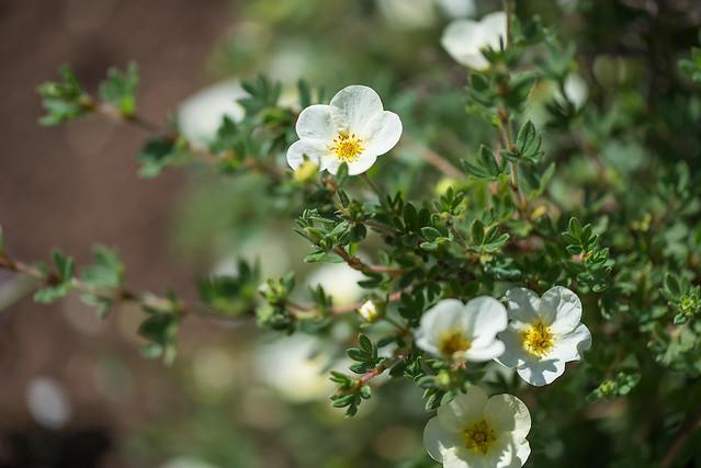 Dasiphora fruticosa 'Tilford Cream' (Rosaceae)