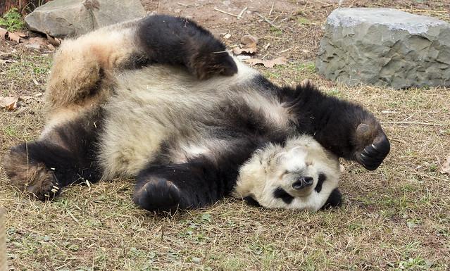 T'ai chi panda, Dujiangyan Panda Base, Shiqiao (Qingchengshan), Dujiangyan, Sichuan, China