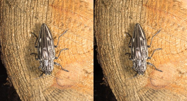 Chalcophora japonica, stereo parallel view