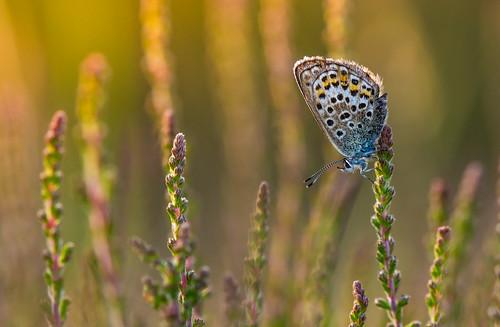 silverstuddedblue butterfly shropshire heather heath