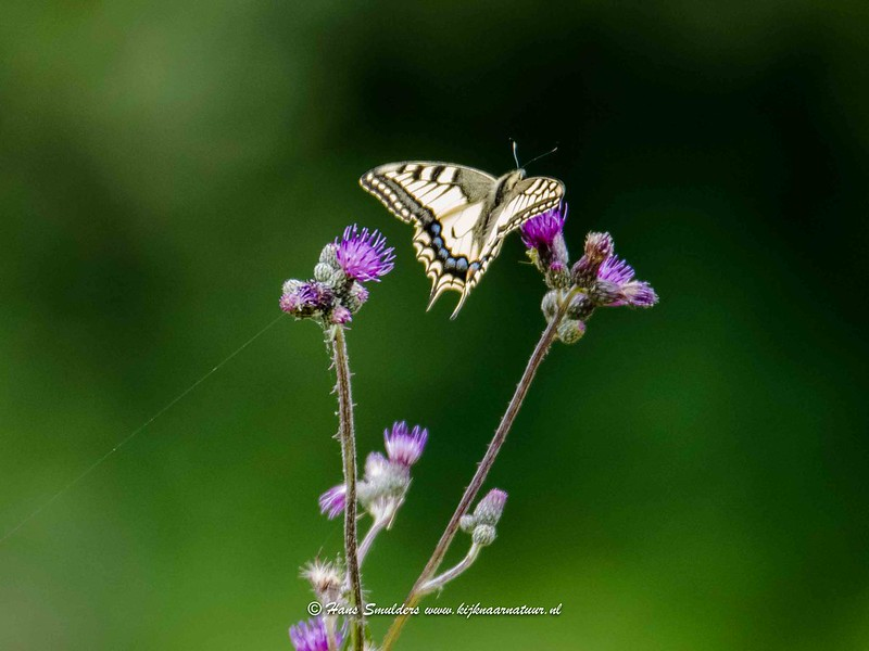Koninginnepage (Papilio machaon)-818_5107
