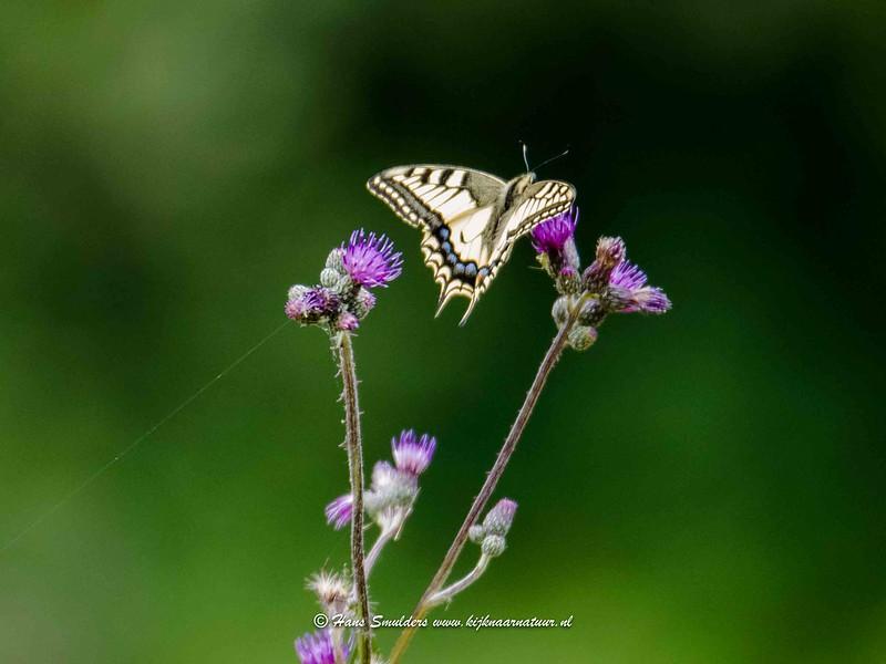 Koninginnepage (Papilio machaon)-818_5107