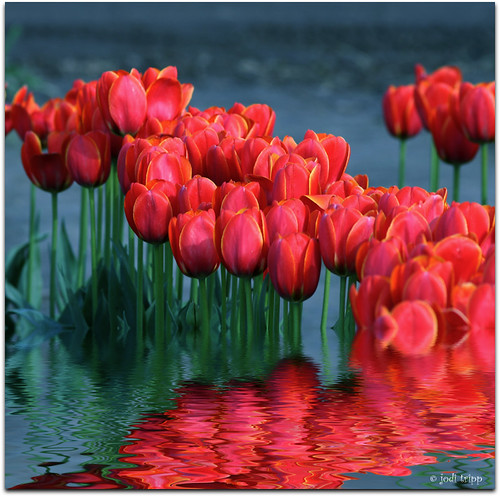 Tulips flooded.jpg | by jodi_tripp