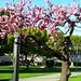 mar 27: cherry trees on the quad