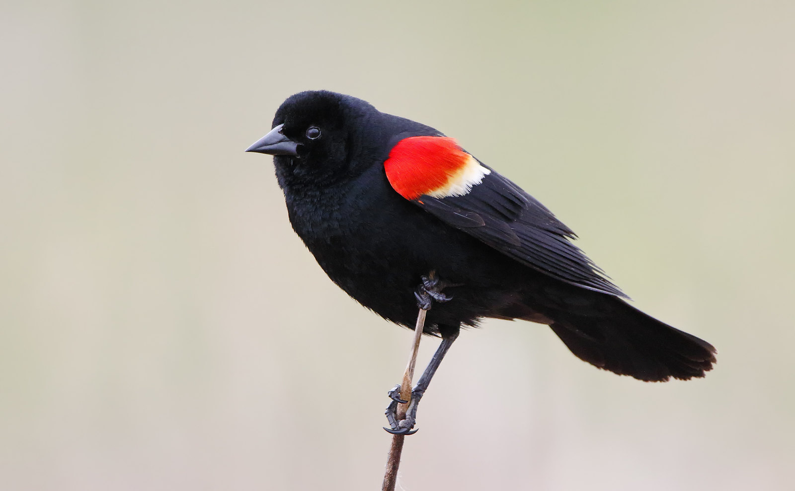 Red-winged Blackbird [male]