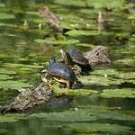 Rotwangen-Schmuckschildkröten (Trachemys scripta elegans) sonnen sich im NSG Heisinger Bogen