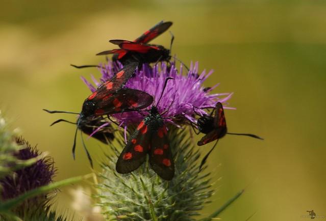 five-spot burnet moths lots  (8)