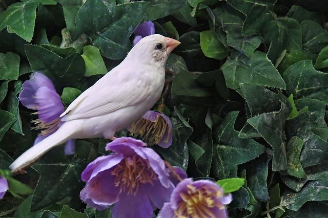 A White Finch